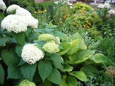 Hydrangea Annabelle, sum and substance hosta and variegated Solomon's seal.
