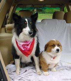 The Daily Corgi: Dewey The Wonder Dog, with Sheltie sister Sadie!  http://thedailycorgi.blogspot.com/2009/07/dewey-wonder-dog.html #corgi #pembroke #welsh