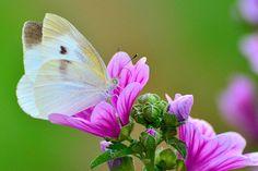 ゼニアオイとモンシロチョウ (紋白蝶) / Cabbage butterfly and Mallow