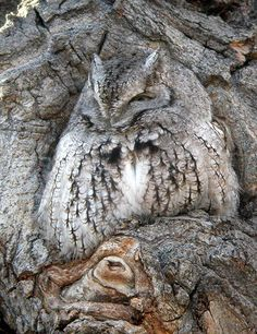 The owl's natural coloring enables it to blend in perfectly with the color and texture of this ancient tree.