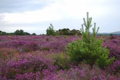 Heathers at Arne, Dorset, RSPB reserve. Some of 'The Splintered Circle' is set in beautiful rural Dorset. One of the characters, the elderly Max Landgraf, lives near Arne in a property which has seen better times. Bristol, My Books, To Go, Coast, Characters, Times, Bird, Plants, Beautiful