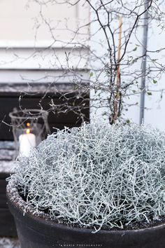 vaaleanpunainen hirsitalo - this looks like our 'cushion' bushes! Christmas And New Year, Winter Christmas, Christmas Lights, Vintage Christmas, Christmas Centerpieces, Christmas Decorations, Holiday Decor, Winter House, Winter Garden