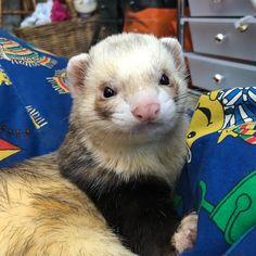 Mr moo I love you . . . Like us? Follow us @dex.and.lola #ferret #ferrets #ferretlove #ferretlover #ferretsofig #ferretsofinstagram…