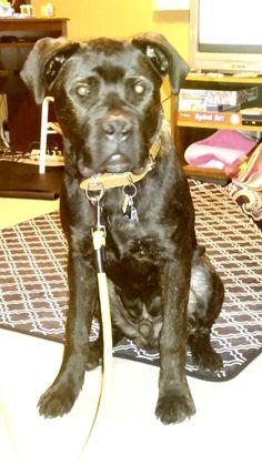 American Bandogge Mastiff, Dogs, Animals, Animales, Animaux, Pet Dogs, Doggies, Animal, Animais
