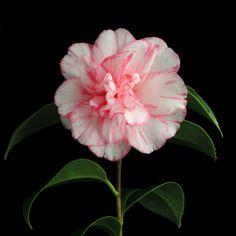 Camellia japonica 'Shuchûka' (Japan, 1789)