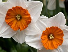 Professor Einstein Daffodils © 2015 Patty HankinsProfessor Einstein Daffodils ©…