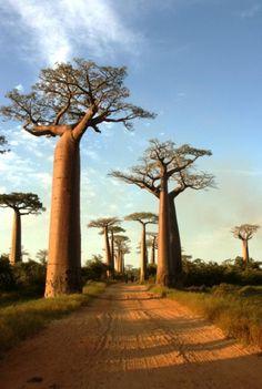 Die berühmte Baobab-Avenue