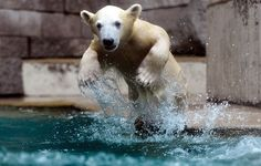 Rawr!  Roars Anori, the 5-month-old polar bear, as she bursts out of the water at the Wuppertal Zoo in Germany. That would be so much fun to see...