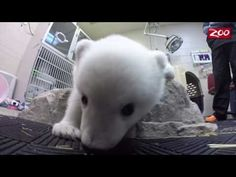Oregon Zoo's New Baby Polar Bear Is Totally Adorable [VIDEO] - Portland, OR Patch