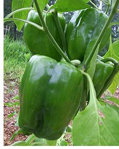 Spray the plant with Epsom salts (1 teaspoon dissolved in a spray bottle of warm water (about 4 cups).    That gives the pepper plant a boost of magnesium that is required at flowering time to produce fruit.    Spray them again 10 days later and in a few weeks, our expert friends report, you will have more peppers than you can eat. @David Acord