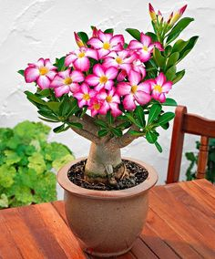 Rosa do deserto é uma planta domesticada cujo nome científico é Adenium obesum (arabicum, entre outros) da família Apocynaceae, necessita de polinização