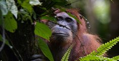 LJMU's Professor Serge Wich is among primatologists contributing to a new list of the world's 25 most endangered primates with his research on the Sumatran orangutan