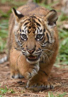 sdzoo #tiger #cub                                                                                                                                                      More