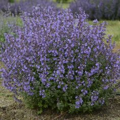 Nepetafaassenii'Kitten Around' catmint, just 12-14 in. tall. Periwinkle blue flowers from early summer thru early fall. Full sun. Zones 3-8. | Walters Gardens, Inc.