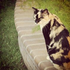 Calico Cat #photoadaymay 14