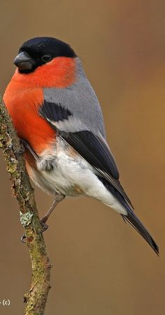 Eurasian Bullfinch - pretty orange vest and black face. Description from pinterest.com. I searched for this on bing.com/images