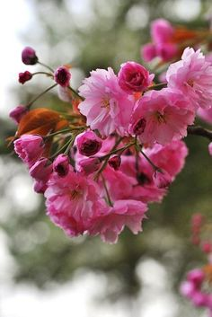 Prunus d'ornement Prunus, Spring Fever, Everything Pink, Spring Time, Blossoms, Cherry Blossom, Flower Power, Lush, Beautiful Flowers