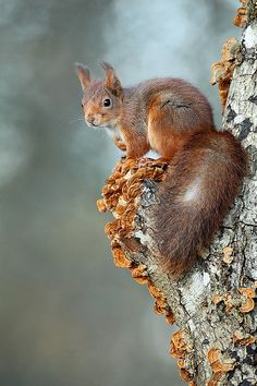 Red squirrel, ecureuil roux