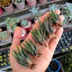 How to propagate the Zebra plant. Learn how to reproduce your Zebra / Haworthia plant … – Cactus Crassula Succulent, Propagating Succulents, Succulent Gardening, Cacti And Succulents, Planting Succulents, Cactus Plants, Container Gardening, Garden Plants, House Plants