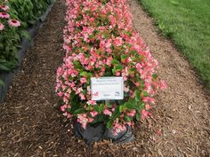 Begonia 'Braveheart Rose-Bicolor-- great for containers, bvery heat resistant and withstands full sun
