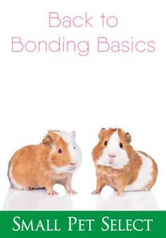 Even though they're naturally social, some piggies don't immediately take to guinea pig bonding. However, there are some methods that are fairly fool-proof. Guinea Pig Toys, Guinea Pig Care, Guine Pig, Pig Facts, Pig Showing, Dragon Horse, Teacup Pigs, Show Cattle, Rabbit Cages