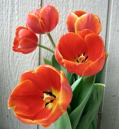 Orange Tulips - flowers Photo