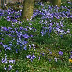 """Anemone blanda 'Blue Shades' ist eine Zwiebelblume, die im Frühling blüht. """"Sie verwildert sehr gut und ihre farbenfrohen Blüten in verschiedenen Lila- und Blautönen formen einen wunderschönen Teppich zum Frühlingsanfang."""" Pflanzzeit: Herbst, online erhältlich bei www.fluwel.de - für Schattengärten geeignet"""