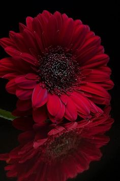 """thelordismylightandmysalvation: """"""""Deep Red"""" ~ Photography by """" Flowers Nature, Exotic Flowers, Amazing Flowers, Beautiful Flowers, Gerbera Flower, My Flower, Gerbera Daisies, Red Photography, Flower Phone Wallpaper"""