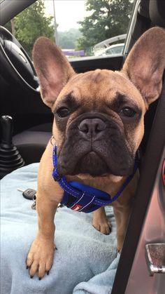 Ralph, the French Bulldog