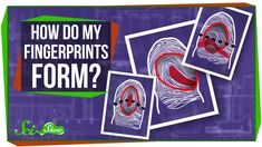 How do fingerprints form? Even though many people think it's random, a lot of it has to do with your genes! Hosted by: Hank Green ---------- Like SciShow? Wa...