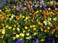Pansy Assortment
