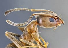 Head and thorax of an Argentine ant