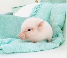 Miniature Pet Pigs – Why Are They Such Popular Pets? – Pets and Animals Cute Little Animals, Cute Funny Animals, Teacup Pigs, Cute Piggies, Pet Pigs, Tier Fotos, Cute Animal Pictures, Cute Creatures, Animals Beautiful