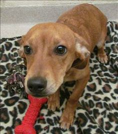 Hans, Dachshund Jack Russell Mix, 6 months old, Neutered, Greater Birmingham Humane Society