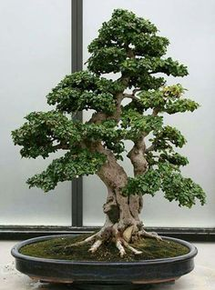 How to care for your Ficus Bonsai Bonsai Tree Care, Bonsai Tree Types, Indoor Bonsai Tree, Indoor Plants, Jade Bonsai, Ikebana, Ficus, Art Floral Japonais, Plantas Bonsai
