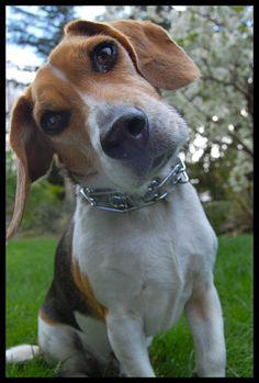 Any way you look at it, I love my Beagles.
