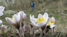 Alpine anemone