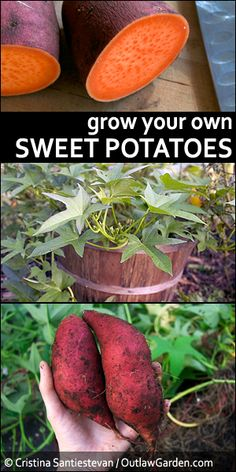 Grow your own sweet potatoes Sweet potatoes are gorgeous, delicious, and surprisingly easy to grow. Learn how to start your own plants from a single store-bought sweet potato. Potato Gardening, Organic Gardening, Vegetable Gardening, Veggie Gardens, Indoor Gardening, Organic Vegetables, Growing Vegetables, Gardening For Beginners, Gardening Tips