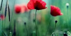 Poppy Flowers Meaning