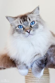Lynx Point Siamese Cat ~ named for the beautiful marking around the face and cheeks.