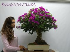 Miami Tropical Bonsai is one of the largest bonsai companies in the United States. We have over bonsai trees in stock, handmade bonsai pots, bonsai tools Wonder Art, Bougainvillea, Wonders Of The World, Miami, Tropical, Amazing, Plants, Beautiful, Plant