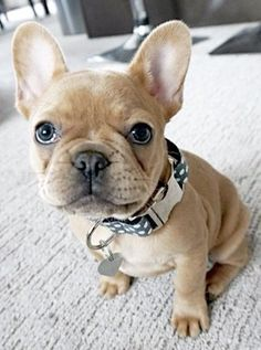 The major breeds of bulldogs are English bulldog, American bulldog, and French bulldog. The bulldog has a broad shoulder which matches with the head. Cute French Bulldog, French Bulldog Puppies, French Bulldogs, Baby Bulldogs, English Bulldogs, Cute Puppies, Cute Dogs, Dogs And Puppies, Doggies