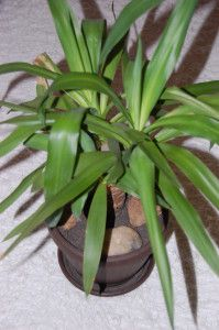 yucca-sobna biljka