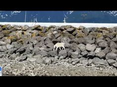 Goat drowns in Alaska trying to escape from crowd snapping its picture   World news   The Guardian