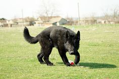 10 month old East German male pup out playing