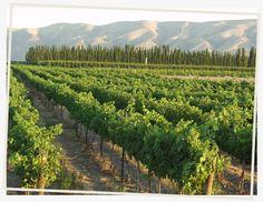 Jones vineyard, Mattawa, WA