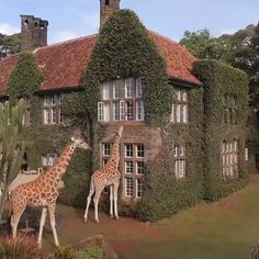 Beautiful Places Giraffe Manor In Kenya. Nature Animals, Animals And Pets, Cute Baby Animals, Funny Animals, Wall Art Wallpaper, All Nature, All Gods Creatures, Pet Birds, Animals Beautiful