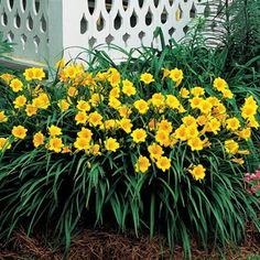 stella doro daylilies - they bloom all summer if you deadhead them