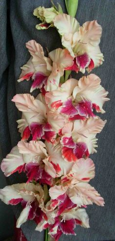 Gladiolus 'Colorful Bird' Wow One Of The Prettiest Glads I've Ever Seen. Real Flowers, Beautiful Flowers, Gladiolus Flower, Flower Photos, Trees To Plant, Perennials, Flower Power, Planting Flowers, Floral Arrangements