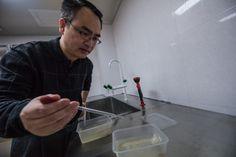 zanzare, febbre gialla, malaria, febbre dengue, Zika, Zika virus, malattia trasmessa dalle zanzare, Zhiyong Xi, Michigan State University, Sun Yat-sen University, di controllo della malattia, la salute pubblica